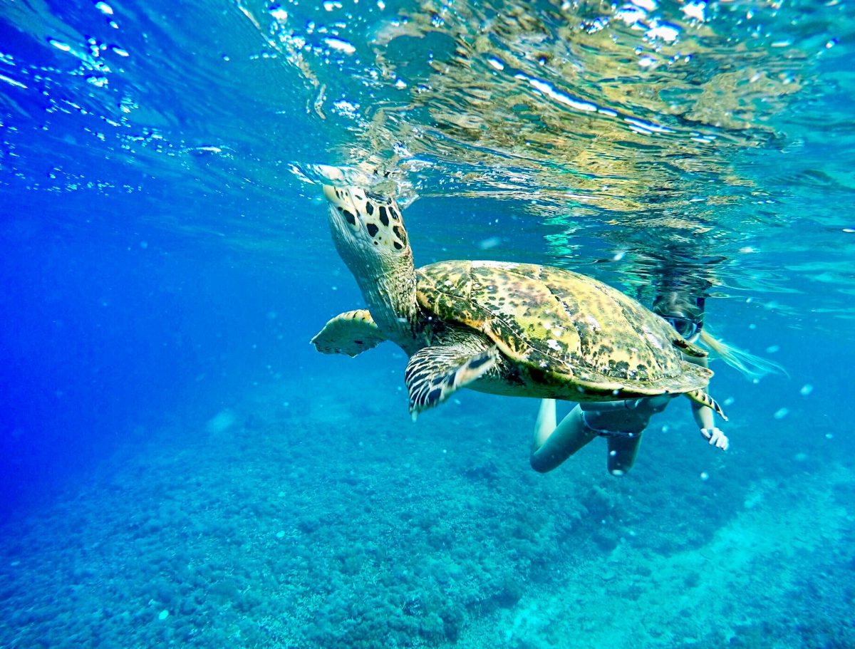 Turtle on Menjangan