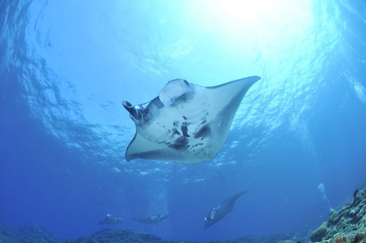Nusa Penida's Manta Ray