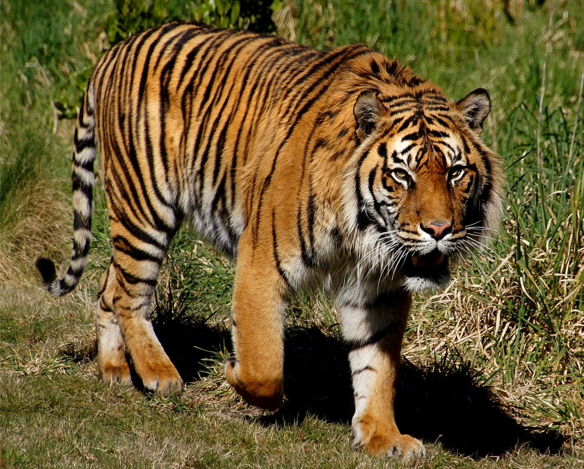 Nashville Zoo features the smallest tiger species on the planet, the Sumatran tiger