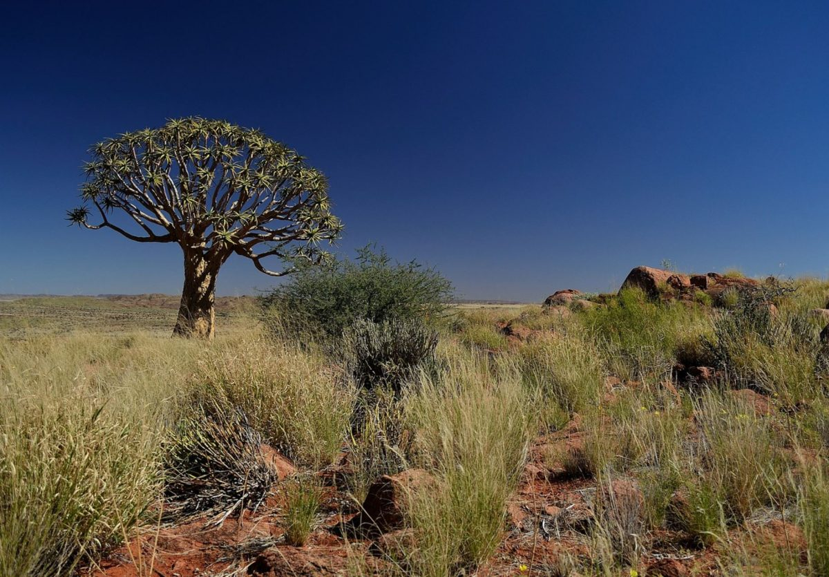 A quiver tree in Kalahari
