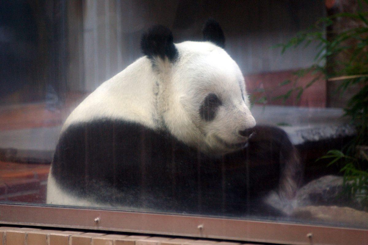 Giant Panda at Ueno Zoo