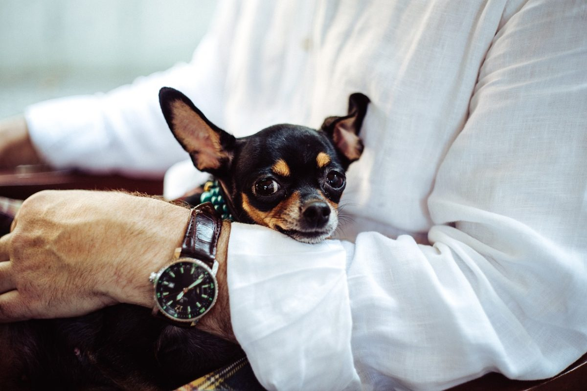 Chihuahua sitting in man's lap