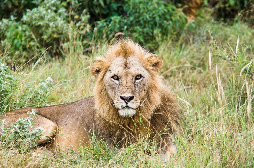 Lion in Mauritius