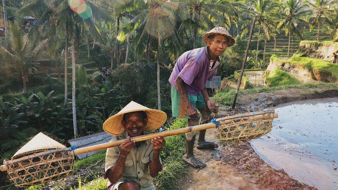 Balinese harvesting rice in Ubud, Bali