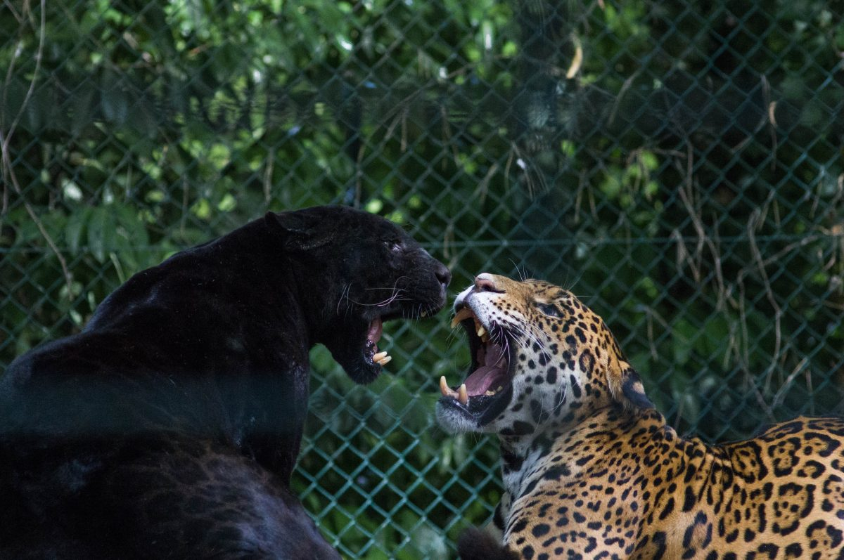 Jaguars or sometimes called Panthera Onca, are the largest cat in the Americas, where they can be found in tropical forests and swamps