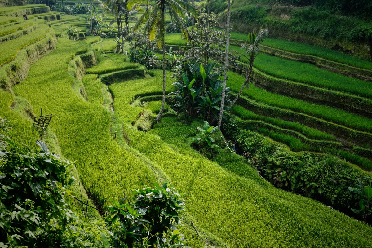 Morning view of Tegallalang Rice Terrace