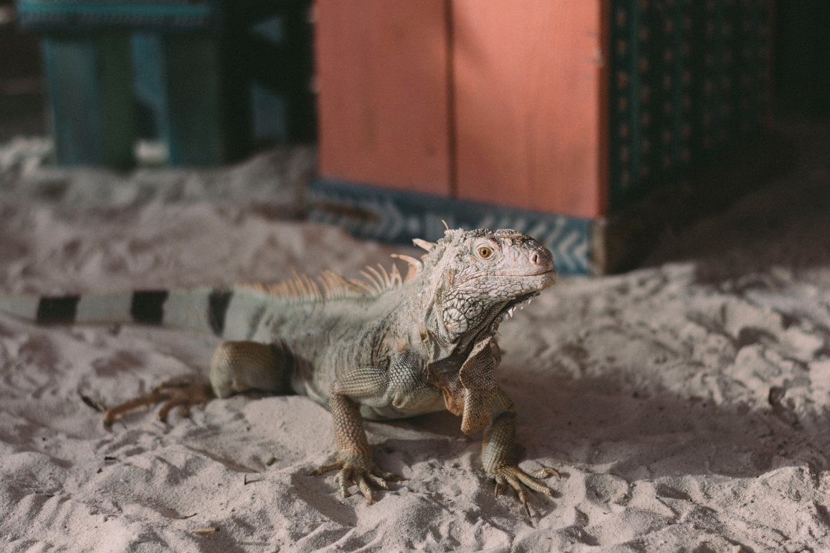 Iguana on the sand