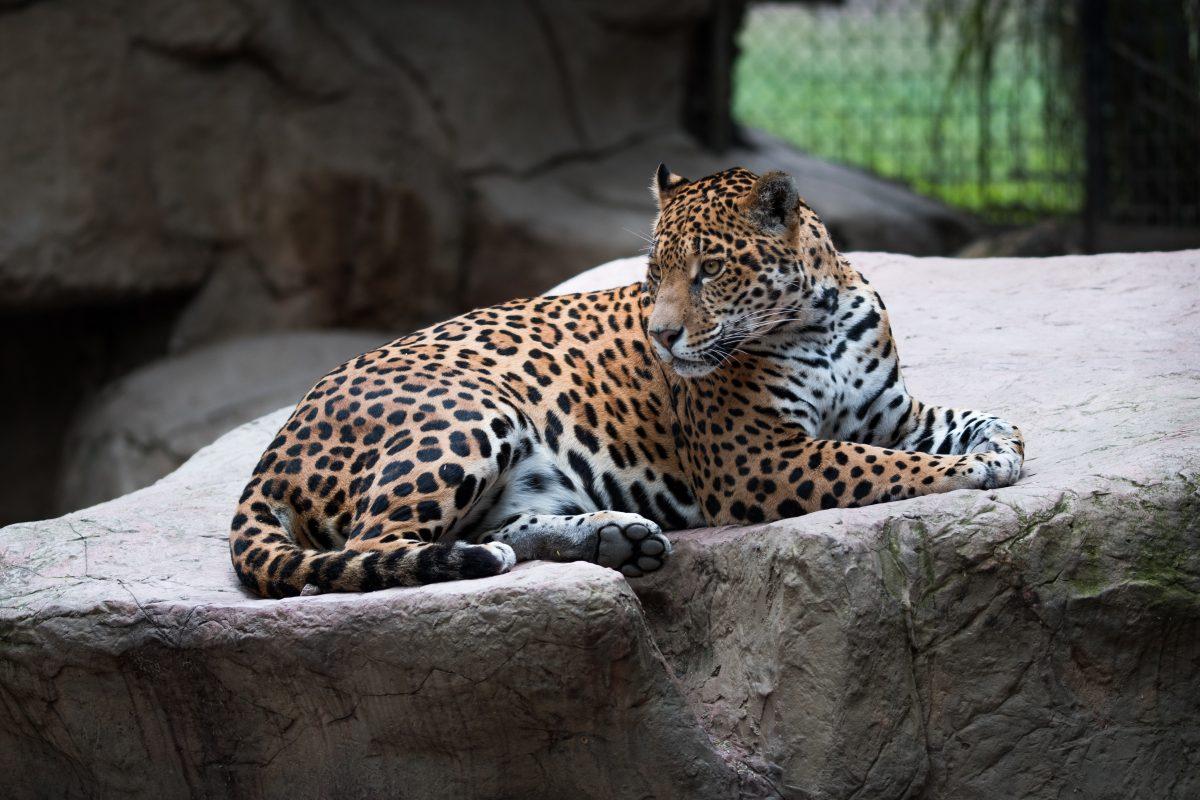 The Range of the Jaguar is a must see if you're going to plan a trip to the Jacksonville Zoo