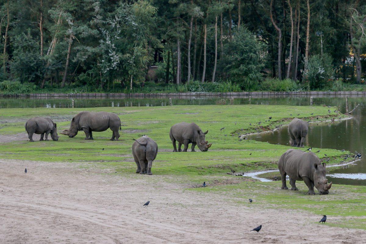 Rhinoceroces at Beekse Bergen