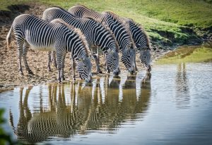 Zebras at Beekse Bergen