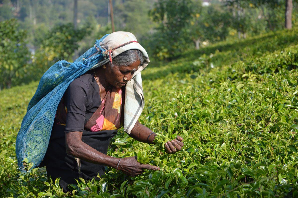 A woman hand-picking Darjeeling tea leaves in a field