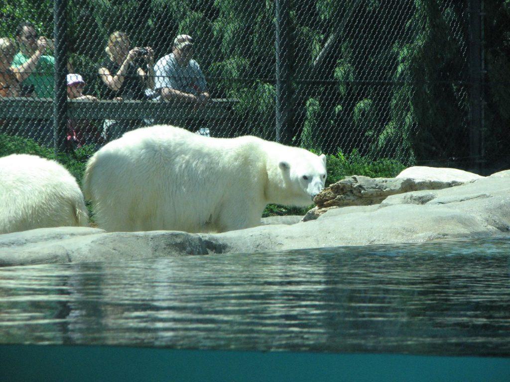 Toledo Polar bear