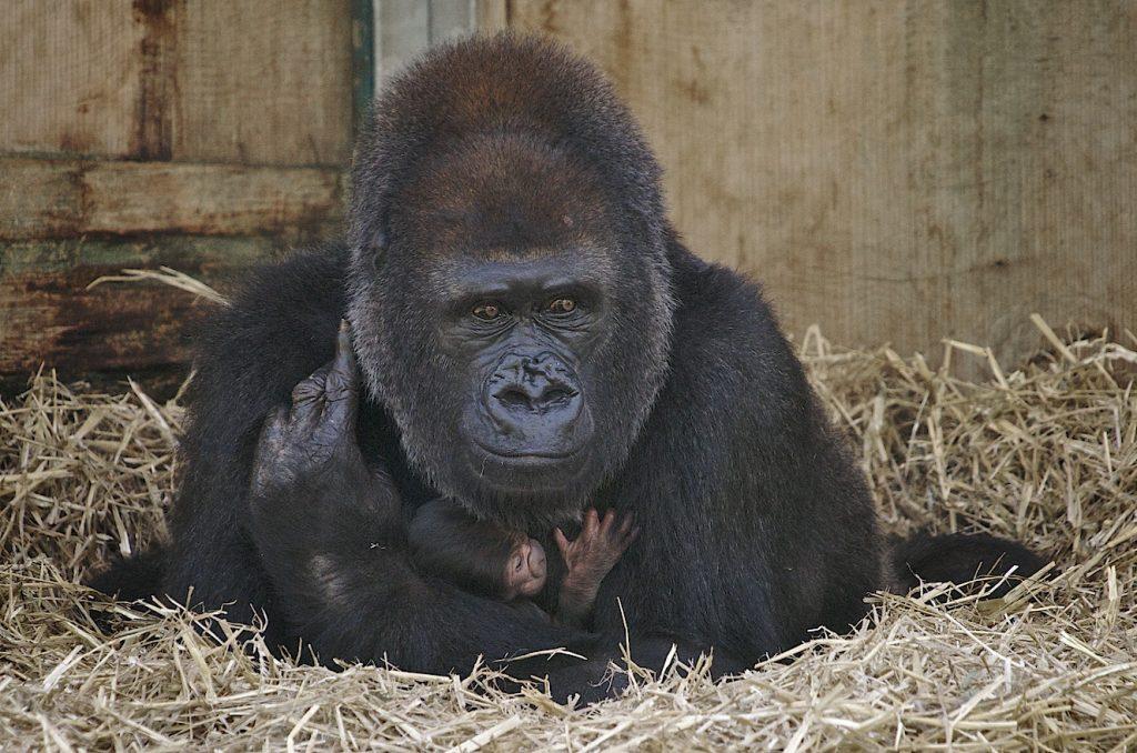 Close Up of Gorilla