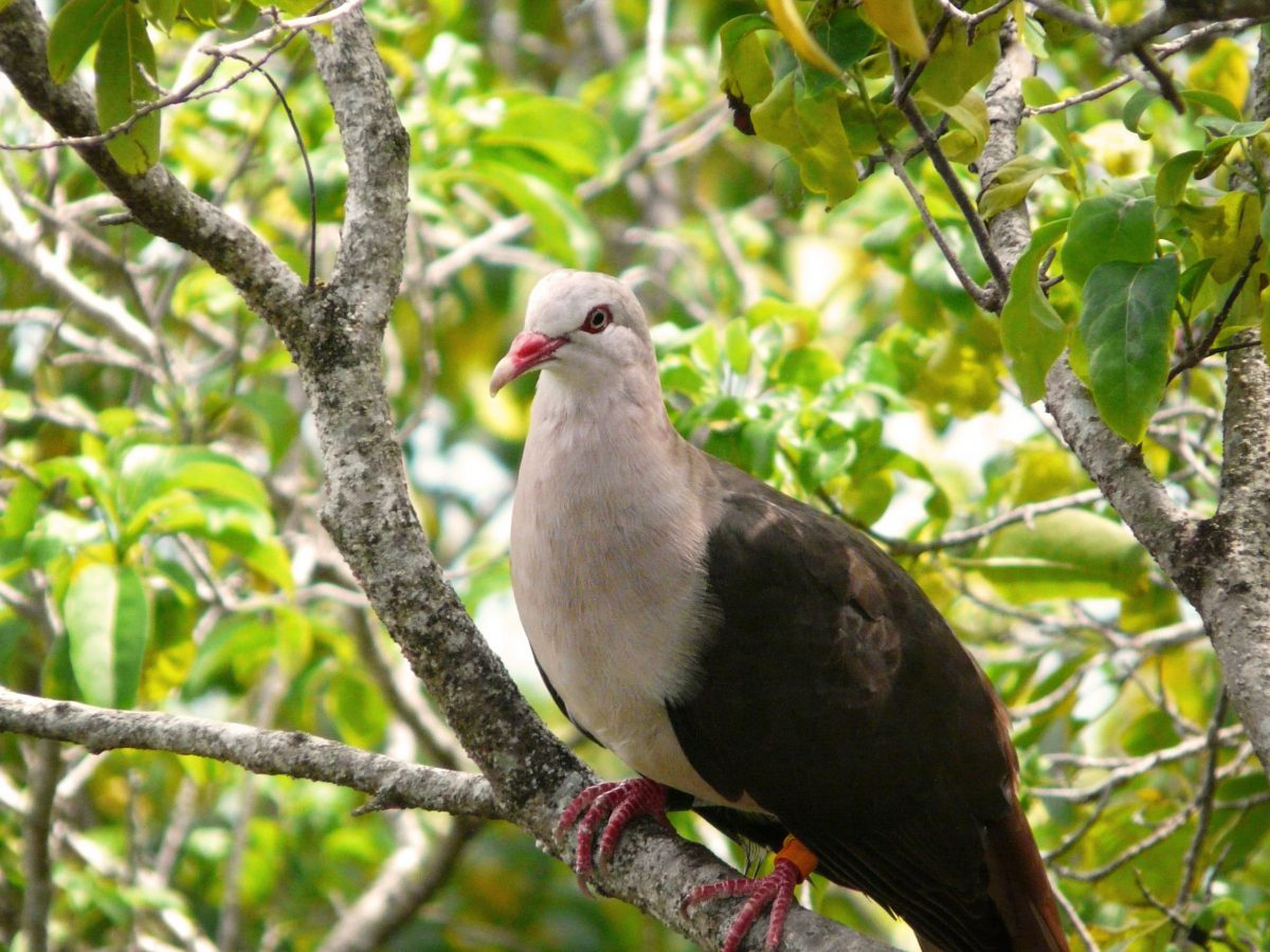 Pink Pigeon in the Black River Gorges National Park