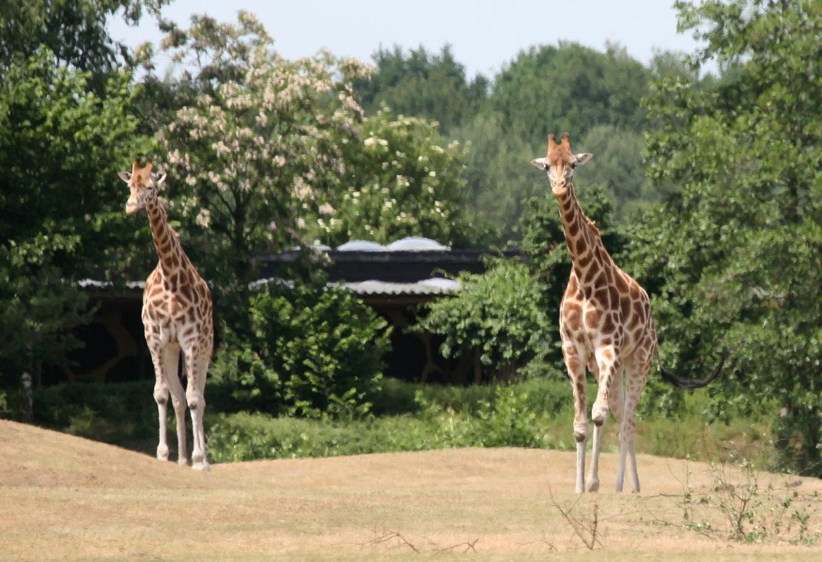 Giraffes at Beekse Bergen
