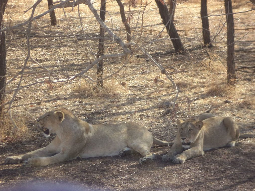 lions, national parks in india