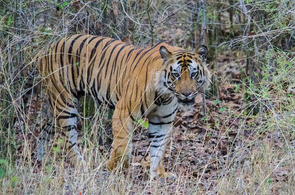 tiger, national parks in india