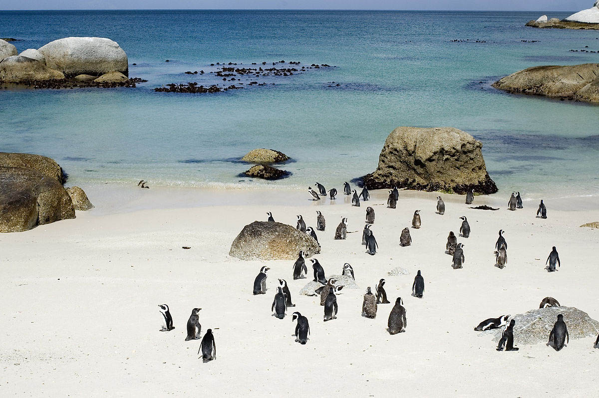 penguins walk around the shore of Boulders Beach