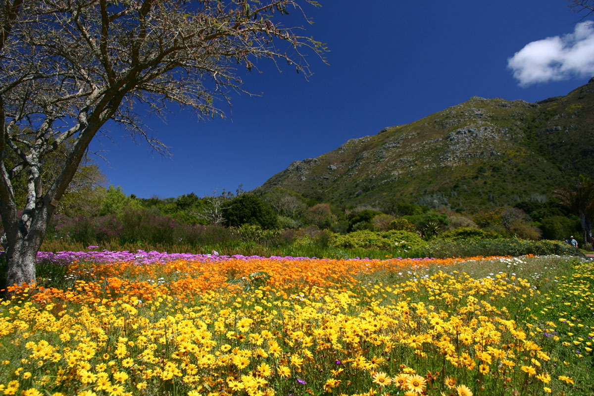 colorful flowers in full bloom at the Kirstenbosch National Botanical Garden, Johannesburg
