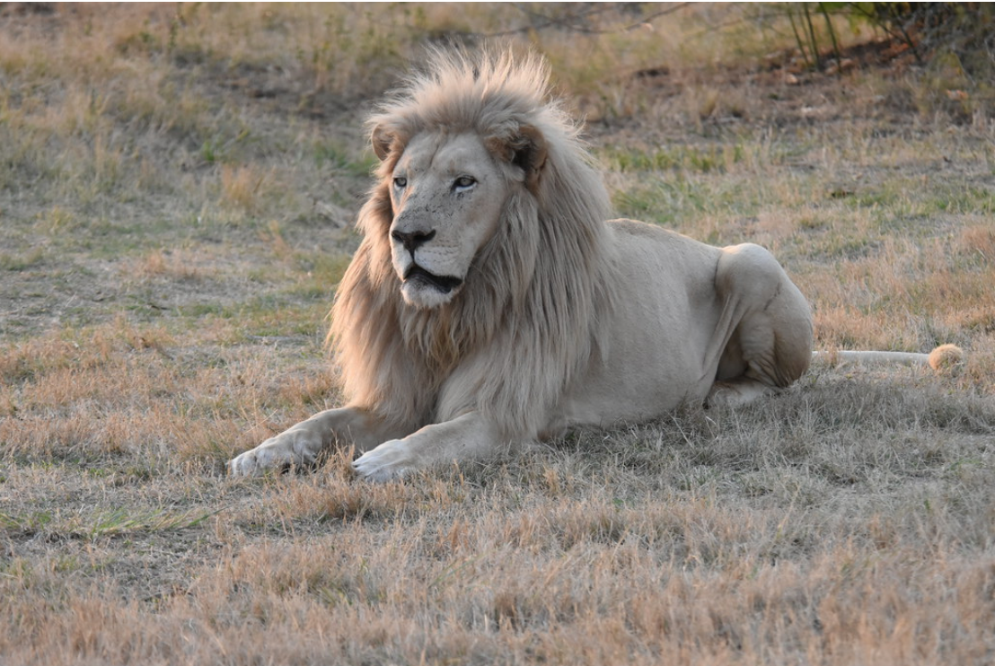 Get an up-close and personal look at the natural beauty of native African species by going on an exciting safari excursion at the Lion & Safari Park in Gauteng.