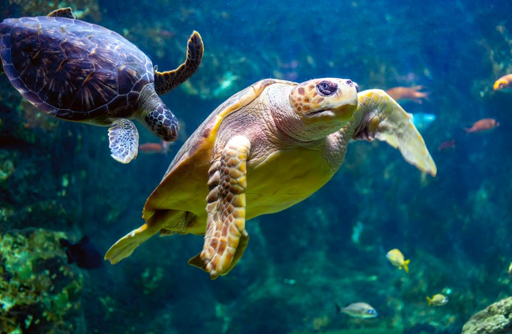 Turtle 1000x653 - Your Complete Guide to Tennessee Aquarium