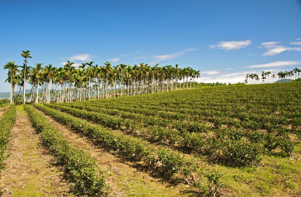 Wuhe Tea Plantation