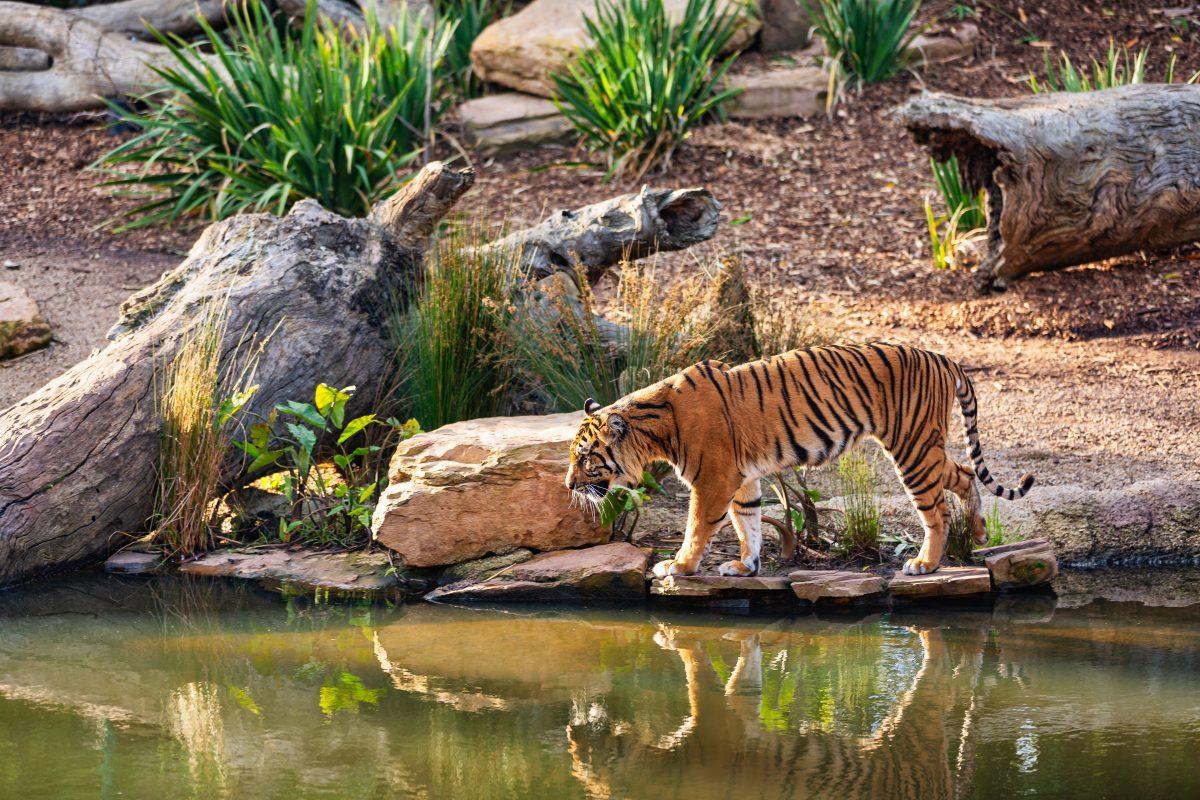 Tiger in Copenhagen Zoo