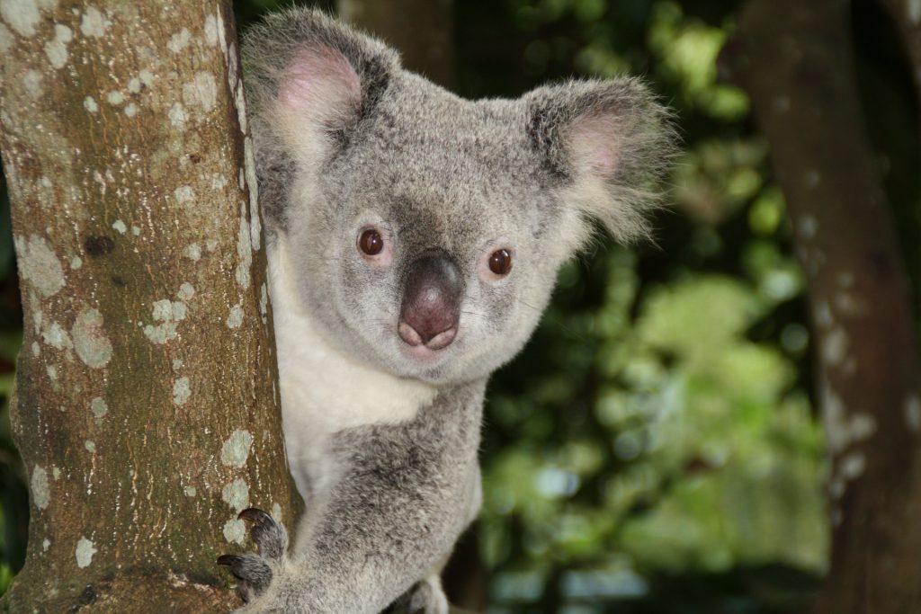 Australian animals, koala, zoo