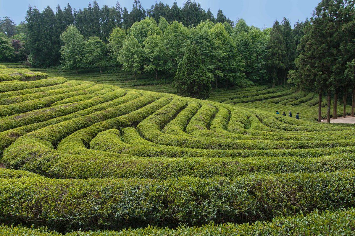 Boseong Green Tea Field, Boseong, South Korea