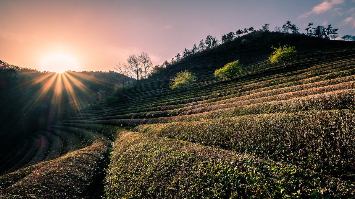 Boseong Green Tea Field, Gwangju, South Korea