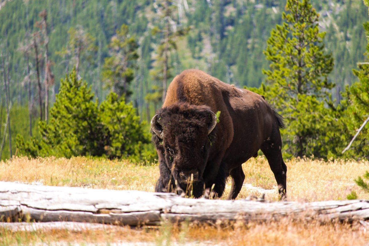Wildlife spotting in Yellowstone