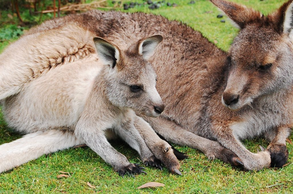 Australian native animals, kangaroo