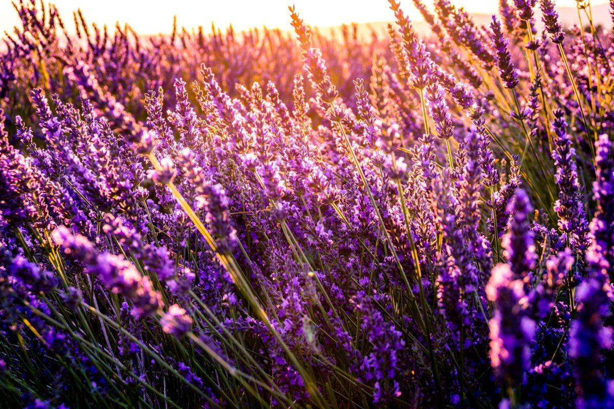 lavender, flower, taichung