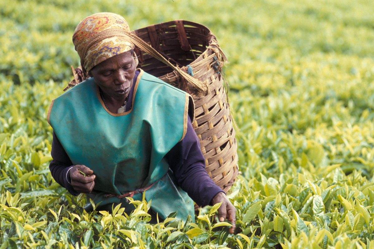 Woman in picking Darjeeling tea leaves with a basket on her back