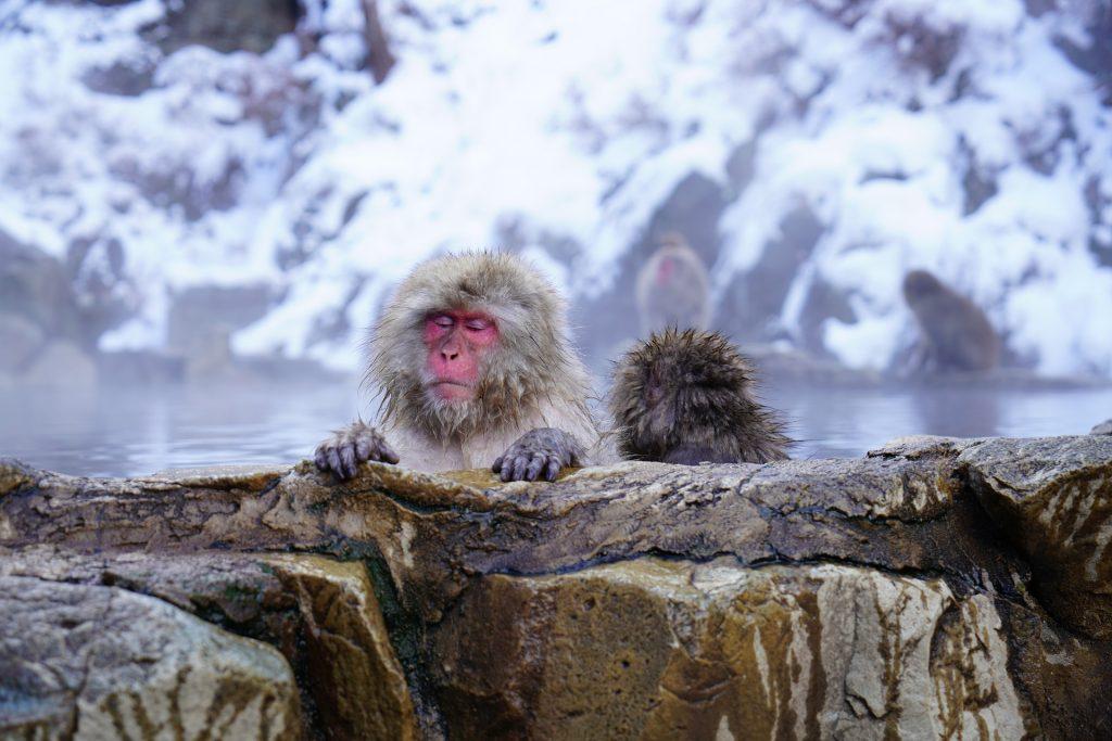 Monkey park, onsen, Japan