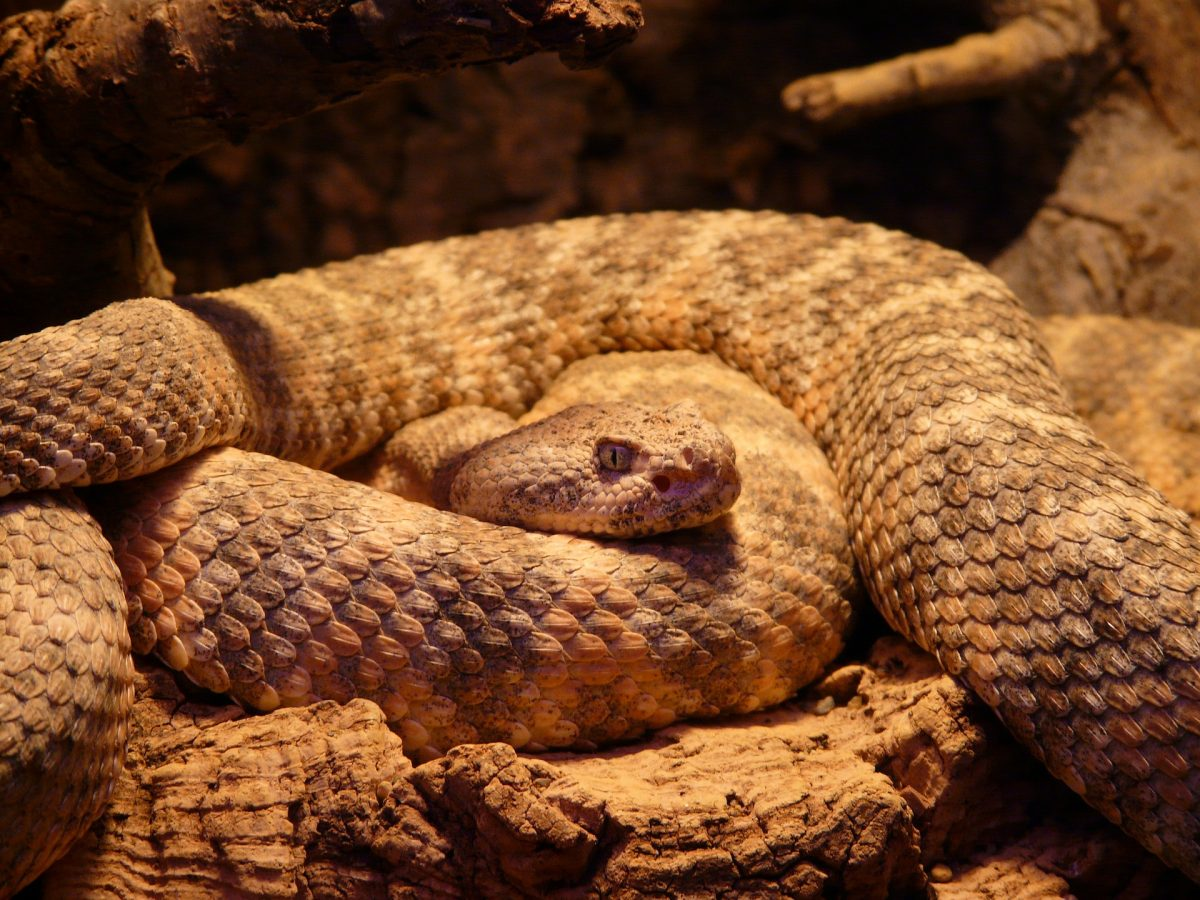 Opened in 1990, with 34 rattlesnake species, American International Rattlesnake Museum is one of a kind.