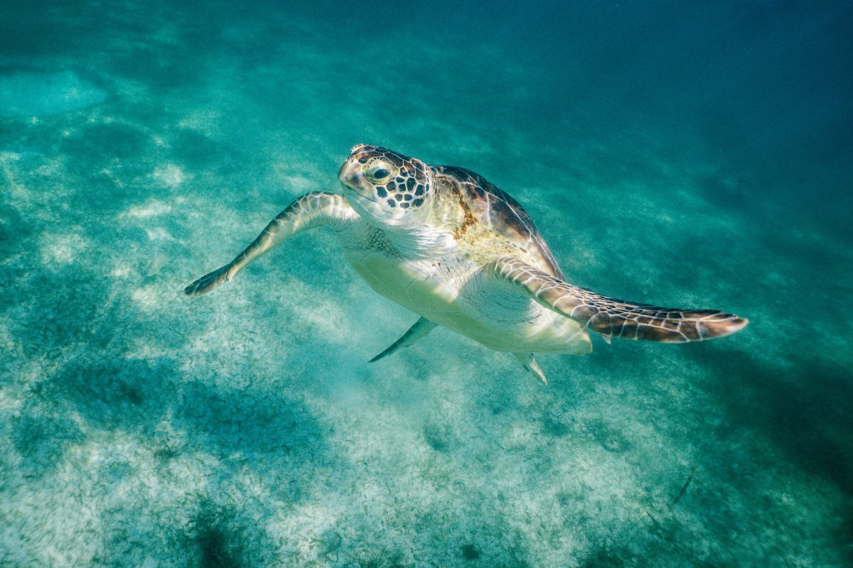 Turtle Swimming in Akumal