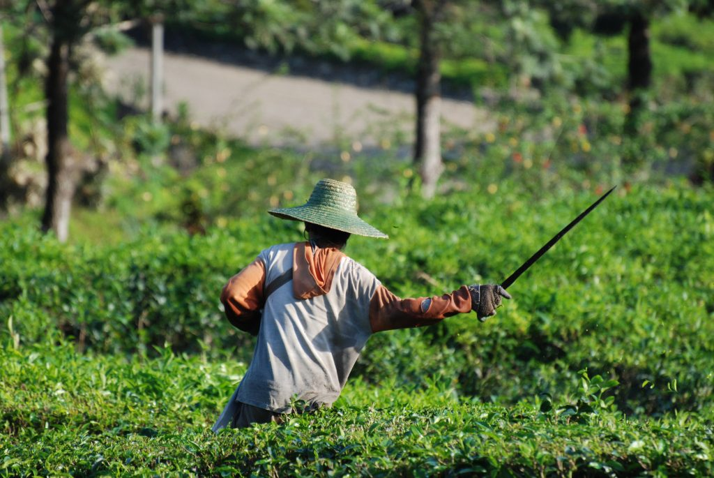 Sabah Tea Planatation, Sabah Tea Garden, sabah malaysia