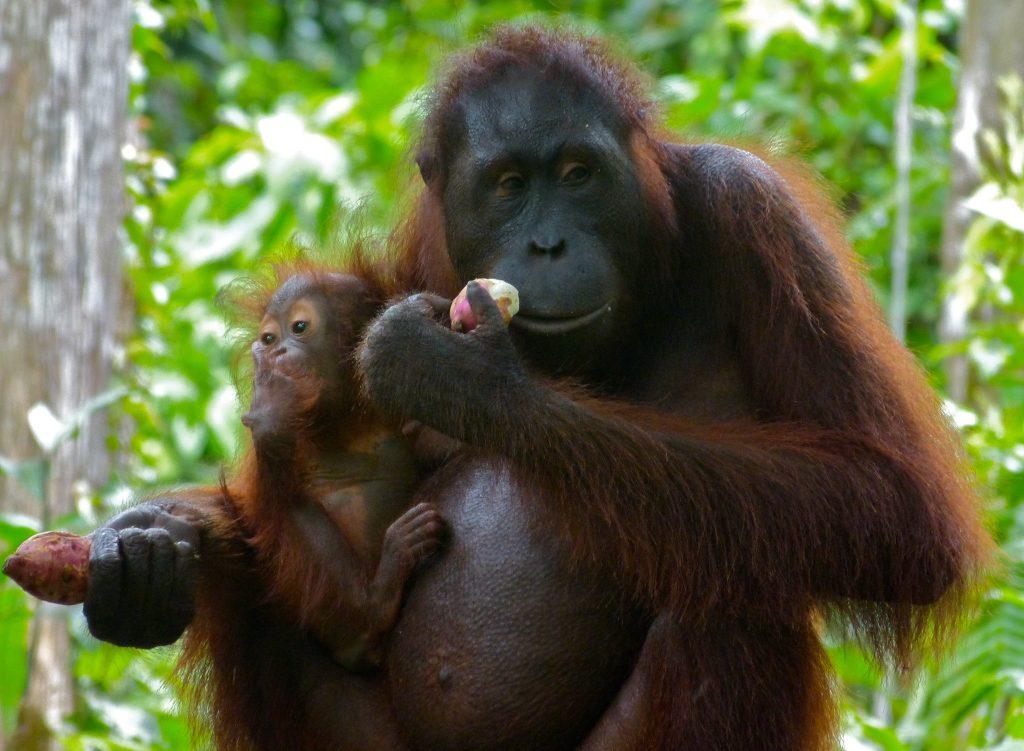 Sepilok Orangutan Rehabilitation Centre, sabah malaysia