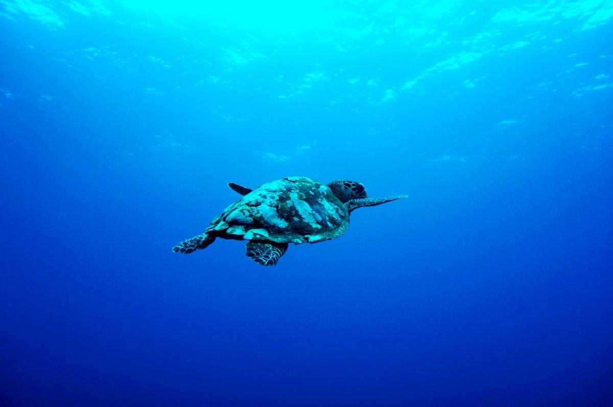 turtle swimming in the ocean of Gili island, Indonesia