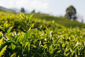 Tea leaves at a tea plantation