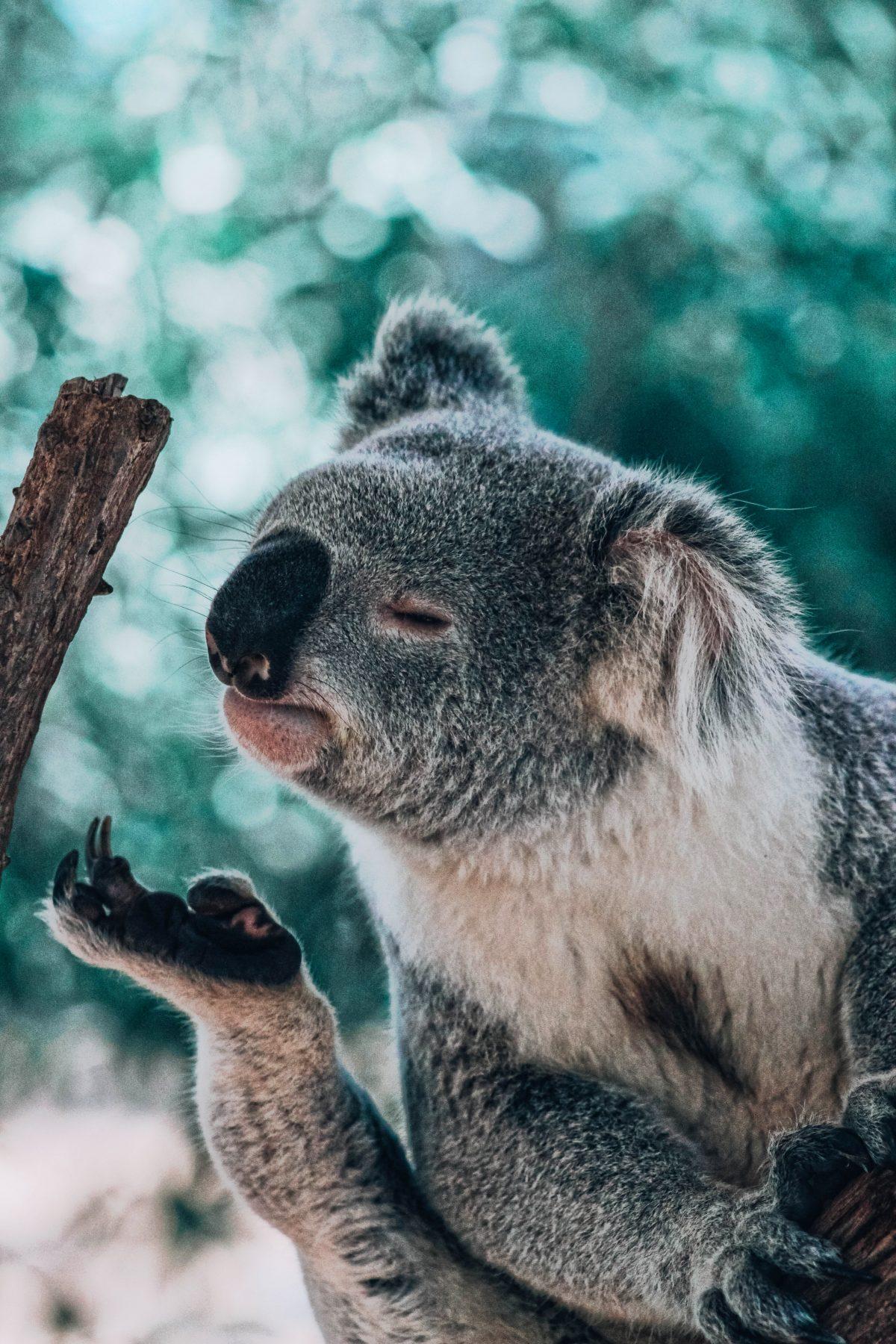 Koalas, Noosa National Park