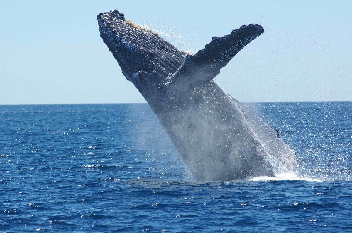 Humpback whale, whale watching, Sunshine Coast