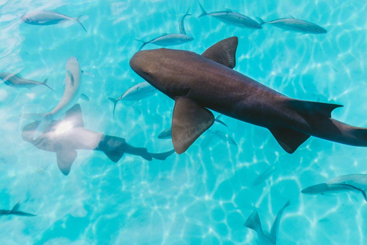 rare swimming karimun fish in the ocean of indonesia islands