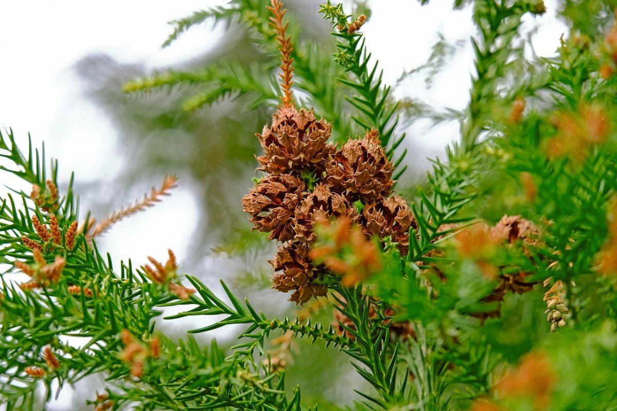 conifer, tree, yambol
