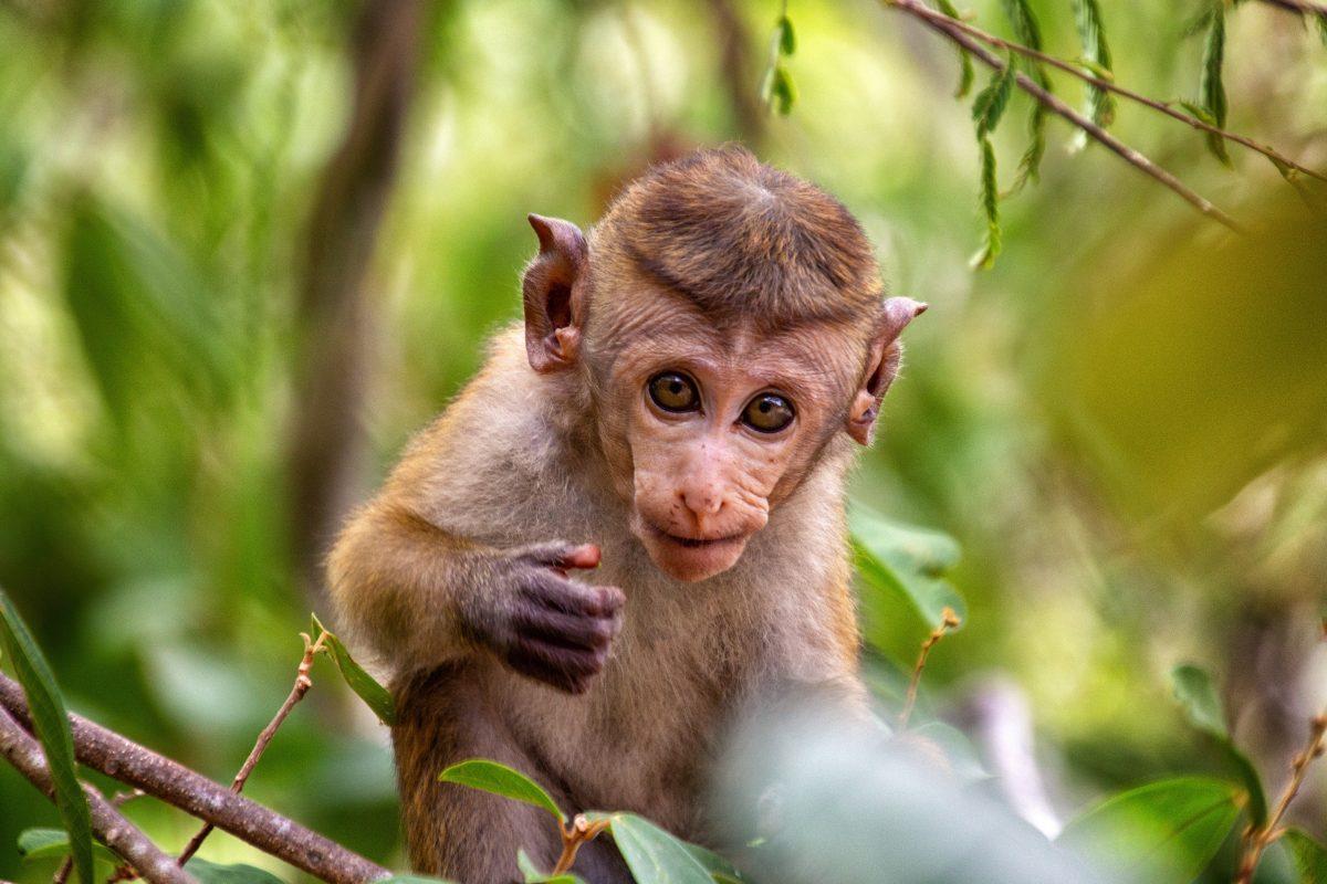 Monkey in Colombo zoo