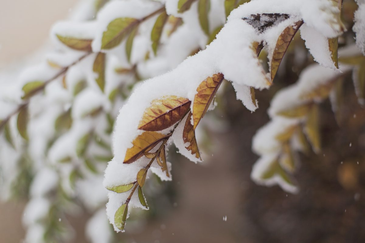 Closeup shot of snow on top of green and brown leaves on small tree branches