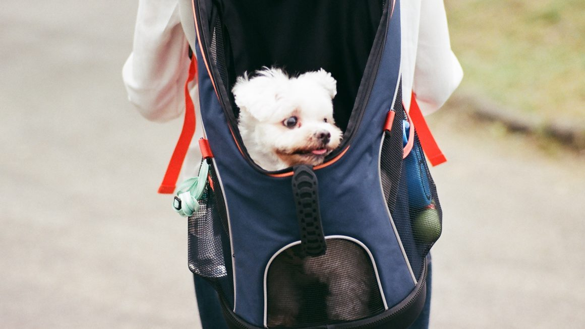 Photo of a small white dog peeking out of an open blue dog backpack with a person carrying the backpack wearing a white top and black jeans