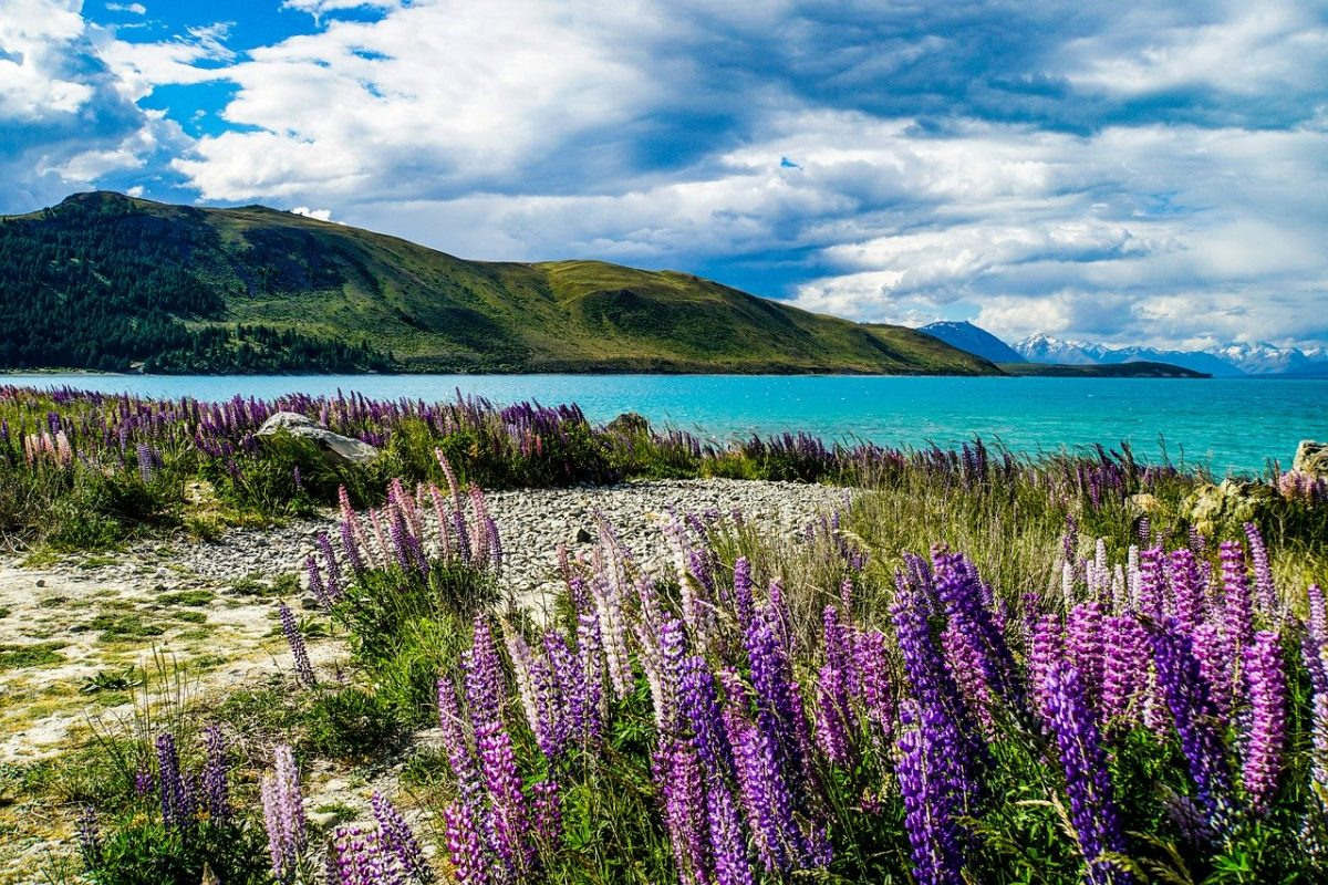 A view of Lake Tekapo with lupines flowers at the forefront and a mountain range in the background