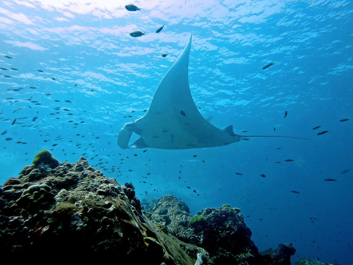 manta ray swimming next to fish and corals